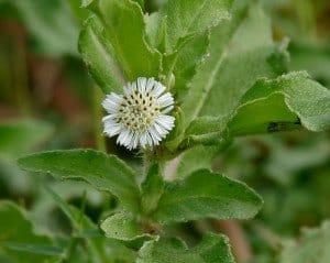 Bhringraj or false daisy