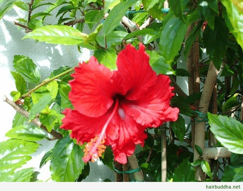 hibiscus shampoo1