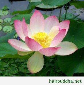 lotus flower for hair loss