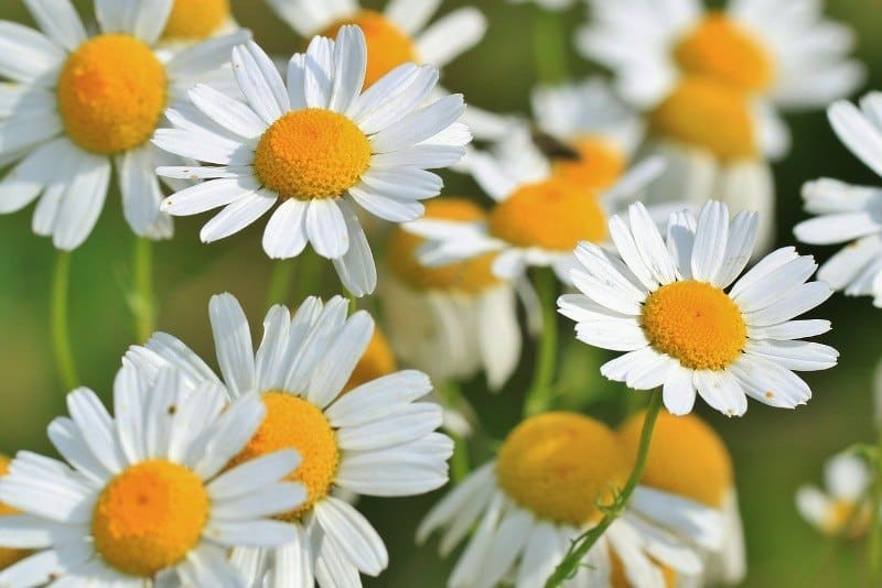 Chamomile to Lighten Hair