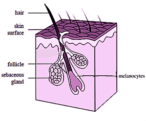 Hair follicle