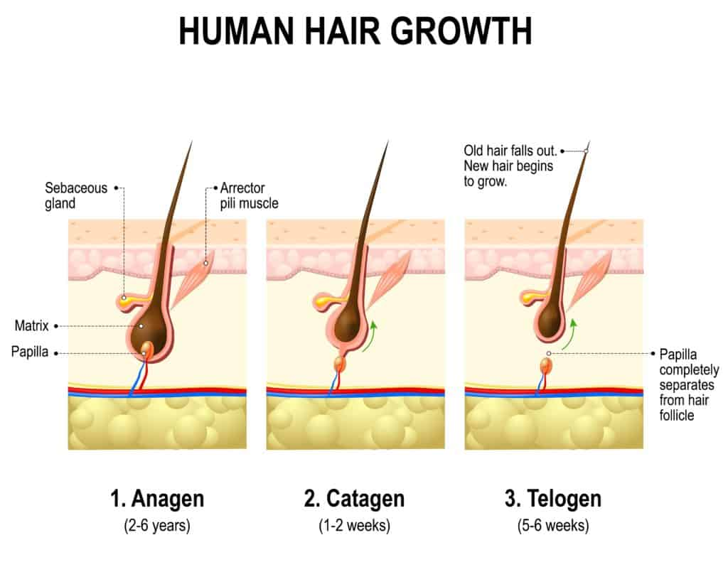 Hair growth. anagen, catagen and telogen