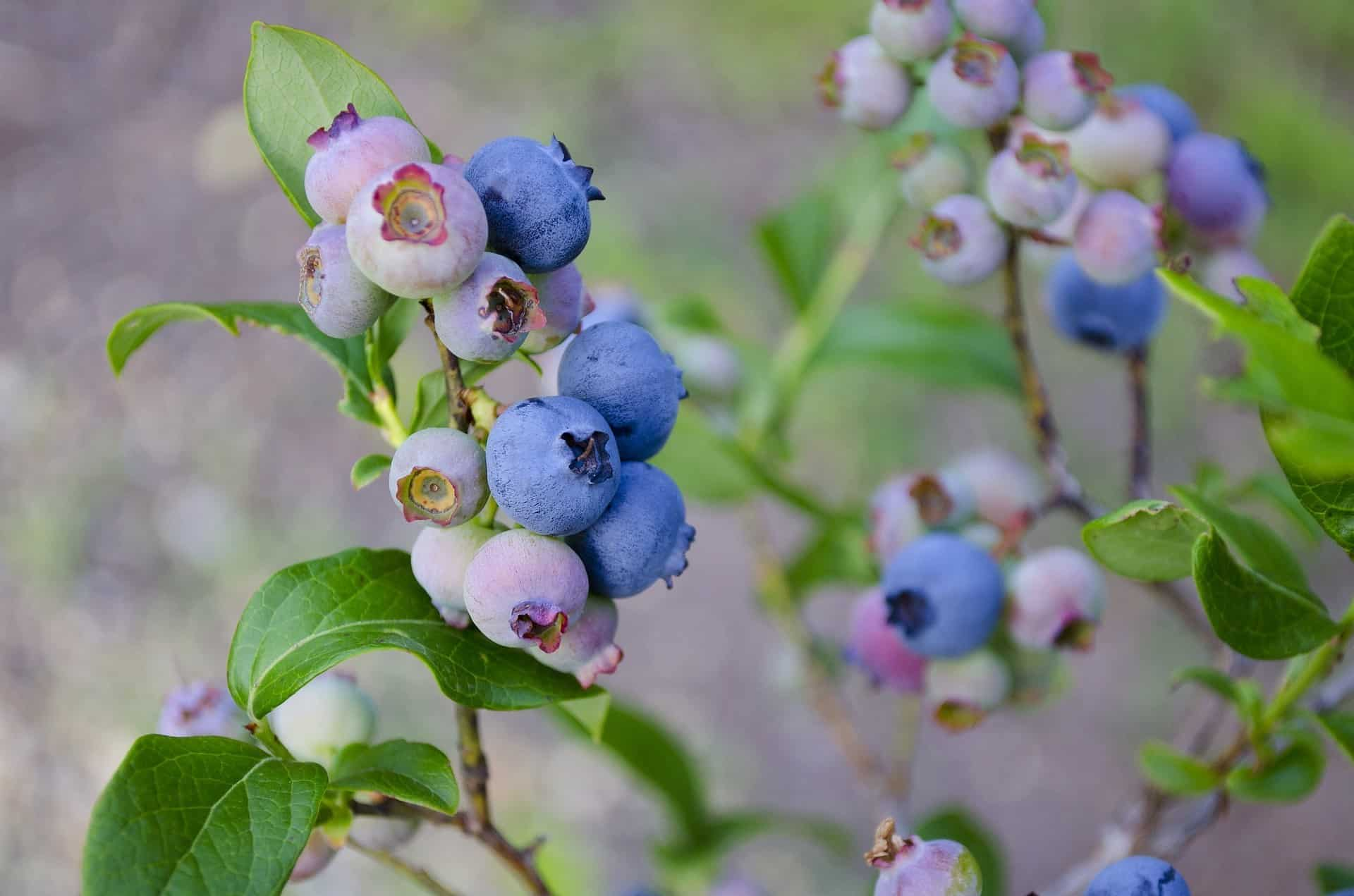 blueberries for amazing hair and skin