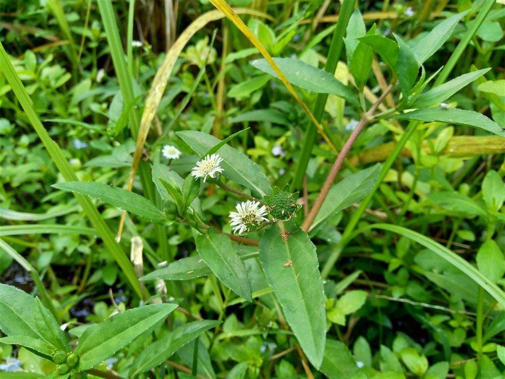 bhringraj plant with white flower